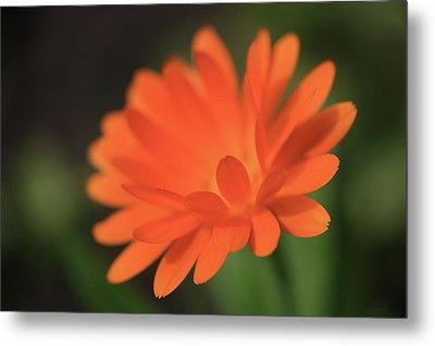 Single Orange Daisy Flower Metal Print