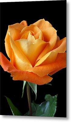 Single Orange Rose Metal Print by Garry Gay