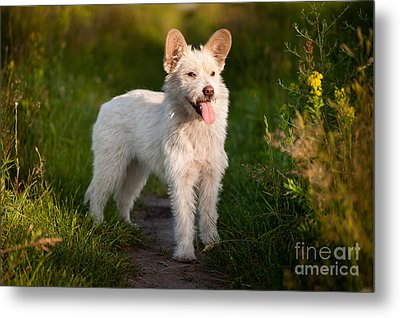 Single Small White Stray Dog In Meadow  Metal Print by Arletta Cwalina