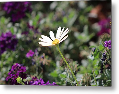 Single White Daisy On Purple Metal Print by Colleen Cornelius