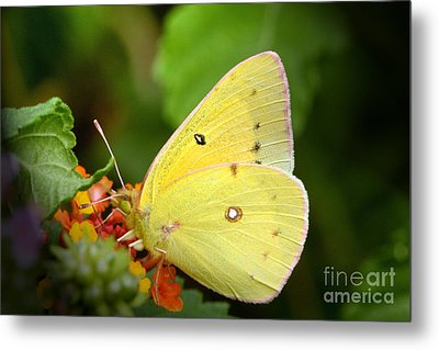 Sipping Nectar Metal Print by Jeannie Burleson