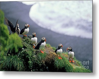 Six Puffins Perched On A Rock Metal Print by Sami Sarkis