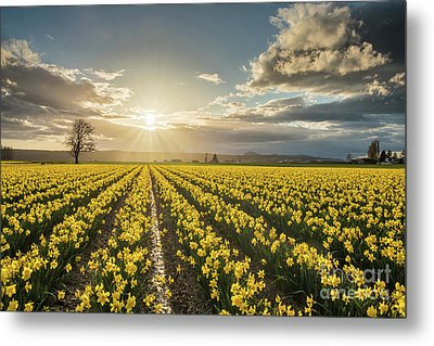 Metal Print featuring the photograph Skagit Daffodils Bright Sunstar Dusk by Mike Reid