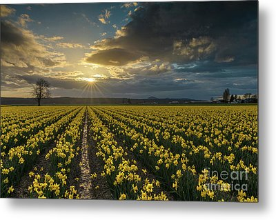 Metal Print featuring the photograph Skagit Daffodils Golden Sunstar Evening by Mike Reid