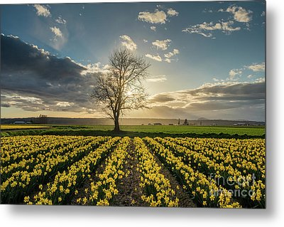 Metal Print featuring the photograph Skagit Daffodils Lone Tree  by Mike Reid