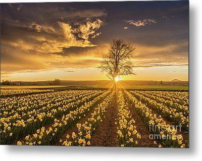 Metal Print featuring the photograph Skagit Valley Daffodils Sunset by Mike Reid