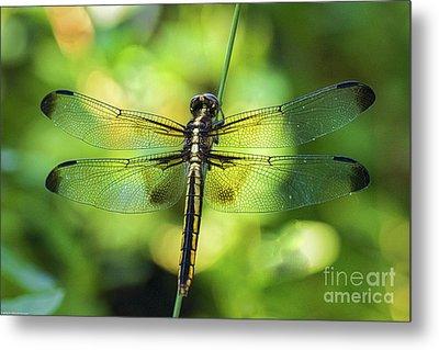 Skimmer Dragonfly Metal Print