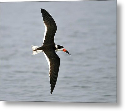 Skimmer In Flight Metal Print by Al Powell Photography USA