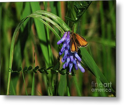 Skipper Butterfly Metal Print by Deborah Johnson
