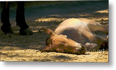 Metal Print featuring the photograph Sleeping Horse by Louise Fahy