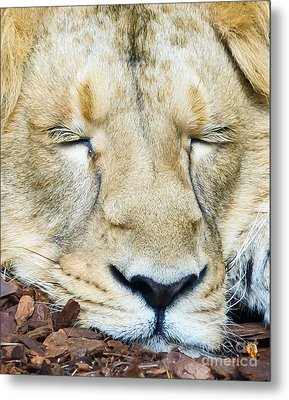 Metal Print featuring the photograph Sleeping Lion by Colin Rayner