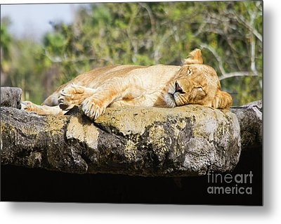 Sleeping Lion Metal Print by Stephanie Hayes