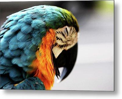 Sleeping Macaw Metal Print by Dan Pearce