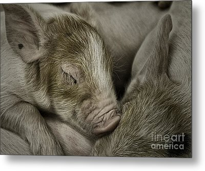 Metal Print featuring the photograph Sleeping Piglet by Brad Allen Fine Art