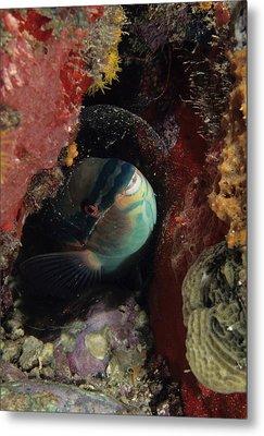 Sleeping Princess Parrotfish In Cocoon Metal Print by Don Kreuter