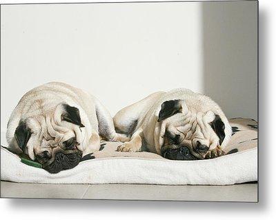 Sleeping Pug Dogs Metal Print