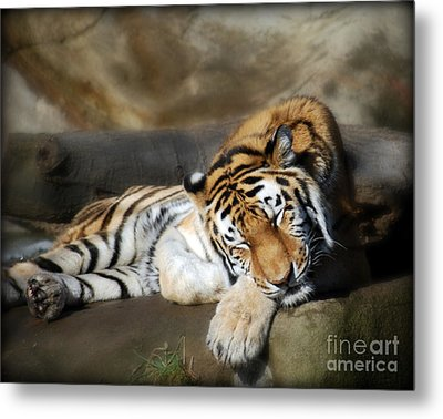 Sleeping Tiger  Metal Print by Lila Fisher-Wenzel