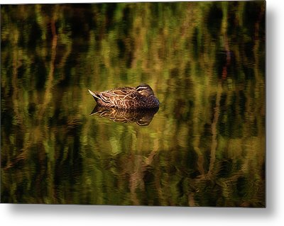Sleepy Duck, Yanchep National Park Metal Print
