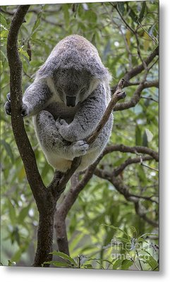 Sleepy Koala Metal Print by Sheila Smart Fine Art Photography