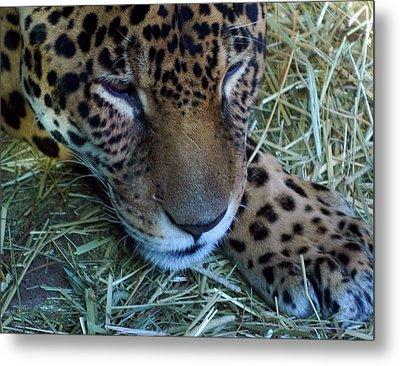 Sleepy Leopard Metal Print