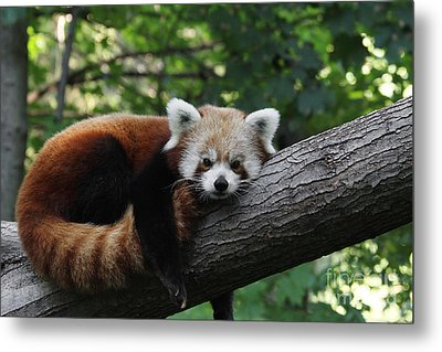 Sleepy Red Panda Metal Print