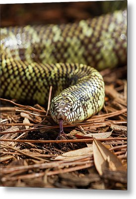Metal Print featuring the photograph Slither Snake by Arthur Dodd