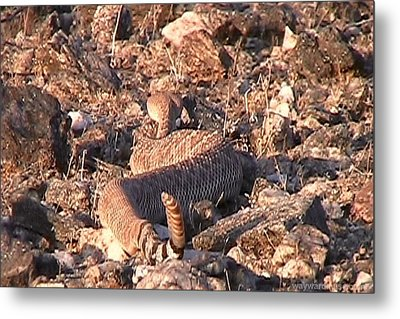 Slithering Away With Tail Held High Metal Print