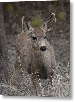Small Fawn In Tombstone Metal Print by Colleen Cornelius