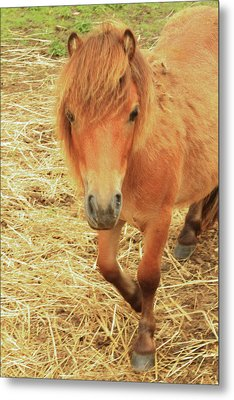 Small Horse Large Beauty Metal Print by Karol Livote