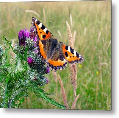 Small Tortoiseshell Butterfly Metal Print by Photo by Suzanne Rowcliffe (suzanne.rowcliffe@gmail.com)
