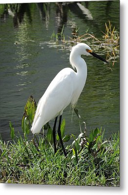 Metal Print featuring the photograph Snow Egret by William Albanese Sr