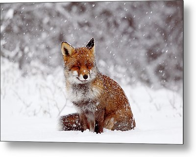 Smiling Fox In A Snow Storm Metal Print by Roeselien Raimond