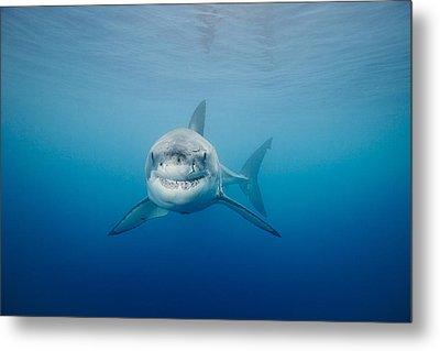 Smiling Great White Shark Metal Print