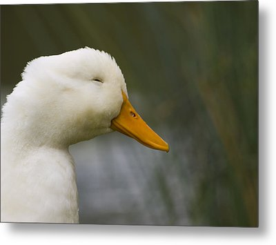 Smiling Pekin Duck Metal Print