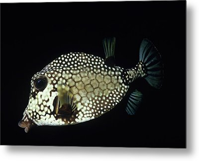 Smiling Smooth Trunkfish Metal Print by Don Kreuter