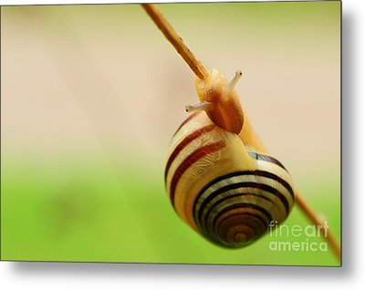 Snail  Metal Print by Joe  Ng