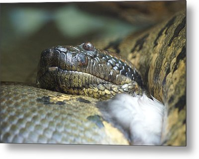 Metal Print featuring the photograph Snake by Heidi Poulin