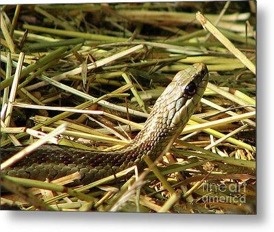 Snake In The Grass Metal Print by Deborah Johnson