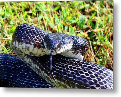 Snakey Lick Metal Print by Kathryn Meyer