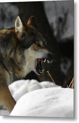 Snarling Wolf Metal Print by Ernie Echols