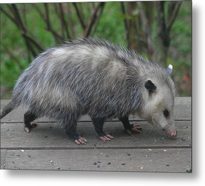 Sniffing Around Metal Print by Kym Backland