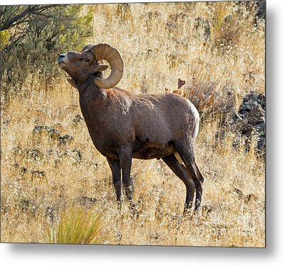 Sniffing The Wind Metal Print