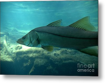 Snook Metal Print
