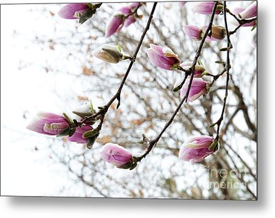 Snow Capped Magnolia Tree Blossoms 2 Metal Print by Andee Design