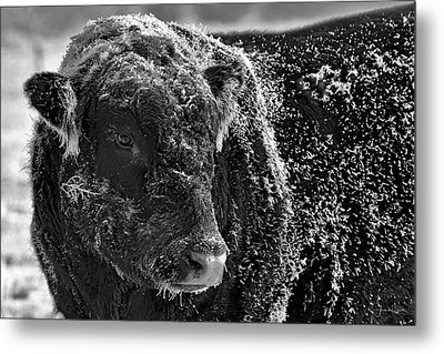 Snow Covered Ice Bull Metal Print
