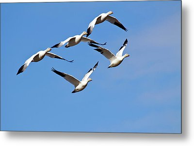 Metal Print featuring the photograph Snow Geese Flormation by Elvira Butler