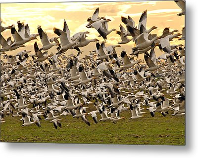 Snow Geese In Flight Metal Print