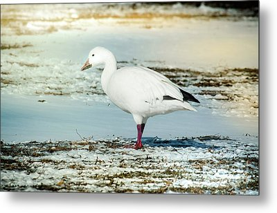 Metal Print featuring the photograph Snow Goose - Frozen Field by Robert Frederick