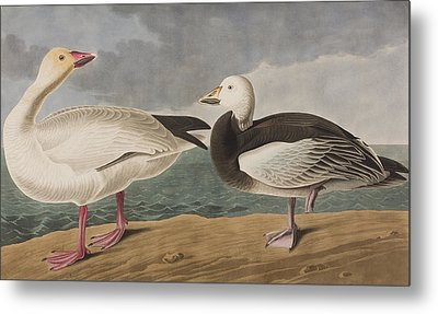 Snow Goose Metal Print by John James Audubon