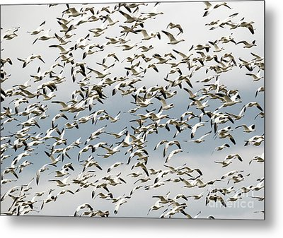 Metal Print featuring the photograph Snow Goose Storm by Mike Dawson